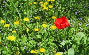 Картинка цветы, луг, одуванчики, весна 2018, Meduzanol ©