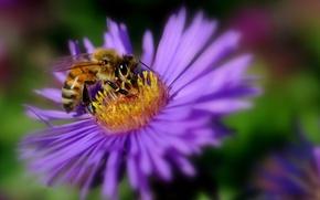 Обои насекомое, пчела, лепестки, цветок