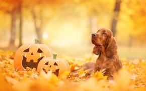 Картинка осень, тыква, спаниЕль