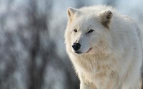 Картинка зима, животные, белый, взгляд, морда, ветки, природа, волк, портрет, голубой фон, красавец, арктический, полярный, арктический …