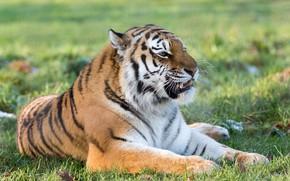 Обои морда, тигр, хищник, клыки, оскал, лежит, дикая кошка