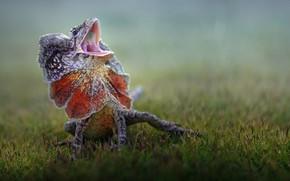 Картинка трава, капли, природа, животное, ящерица