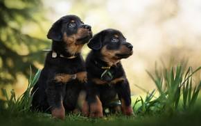 Картинка собаки, щенки, малыши, парочка, боке, двойняшки, Босерон, Французская овчарка