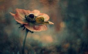 Картинка цветок, макро, фон, улитка, анемона