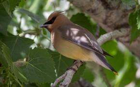 Картинка листья, природа, птица, ветка, американский свиристель