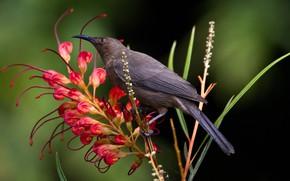 Картинка цветок, птица, клюв, мизомела