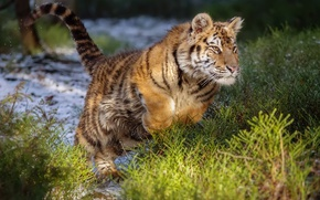 Обои дикая кошка, Амурский тигр, прыжок, тигр