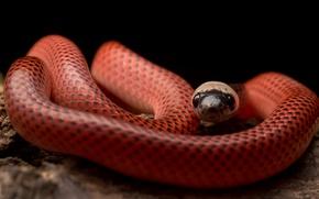 Картинка змея, Drepanoides anomalus, Black-collared Snake