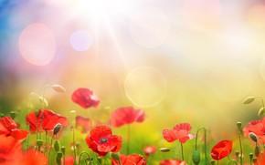 Картинка небо, трава, солнце, цветы, маки, весна, sky, flowers, spring, meadow