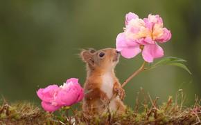 Картинка цветы, природа, животное, мох, белка, пионы, грызун