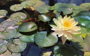 Картинка лилия, нимфея, вода