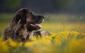 Картинка цветы, природа, животное, собака, профиль, одуванчики, пёс