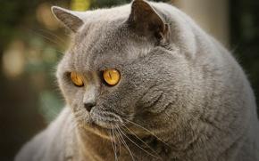 Картинка кот, взгляд, мордочка, котэ, важный, Британская короткошёрстная кошка