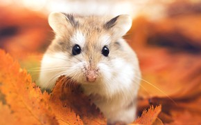 Картинка осень, листья, макро, хомяк, by Thunderi