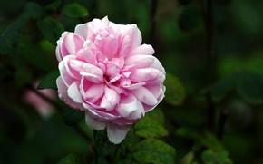 Картинка Природа, Роза, Цветок, Куст, Цветение