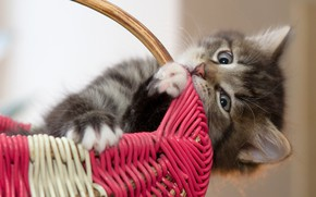 Картинка кошка, взгляд, котенок, серый, фон, портрет, пушистый, котёнок, корзинка, милашка
