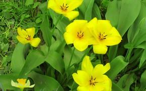 Картинка цветы, жёлтые тюльпаны, весна 2018, Meduzanol ©