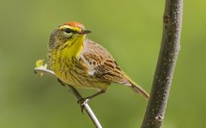 Картинка птица, ветка, клюв, пальмовый лесной певун