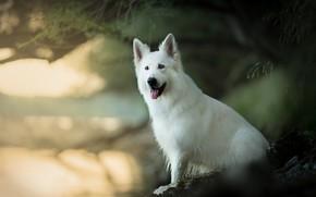 Картинка собака, боке, Белая швейцарская овчарка