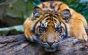 Картинка взгляд, морда, тигр, бревно, дикая кошка