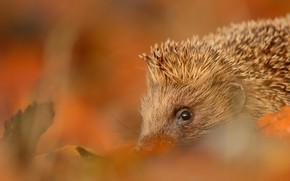 Картинка осень, взгляд, листья, природа, фон, размытость, мордочка, ежик, ёжик, еж, ёж