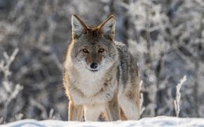 Картинка зима, взгляд, снег, боке, койот, луговой волк