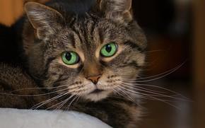 Обои кот, полосатый, взгляд, портрет