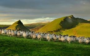 Картинка природа, овцы, Англия