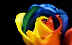 Картинка краски, роза, радуга, лепестки