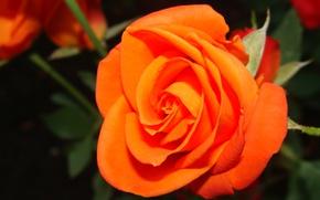 Картинка цветы, роза, красота