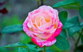 Картинка макро, роза, нежная
