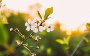 Картинка белый, цветы, Закат, Солнце, Лето