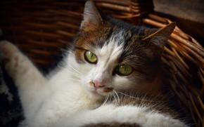 Картинка кошка, кот, морда, портрет, лежит, корзинка, зеленые глаза, пятнистая