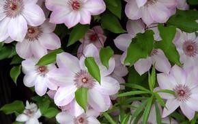 Обои цветы, свежесть, листва, нежность, лепестки, тычинки, клематисы