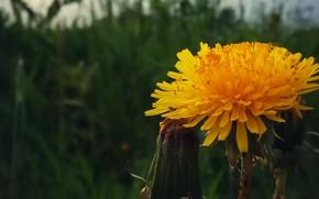 Картинка макро, Цветы, Одуванчик