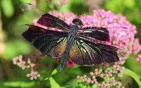 Обои зелень, лето, макро, цветы, насекомые, сияние, блеск, стрекоза, красивая, крылышки, яркая