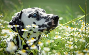 Картинка лето, трава, морда, солнце, цветы, ромашки, далматин, боке