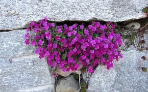 Картинка Nature, Purple, Flowers, Stones
