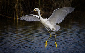 Обои птица, крылья, белая американская цапля