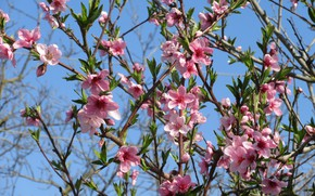 Картинка персик, цветёт, весна 2018, mamala ©