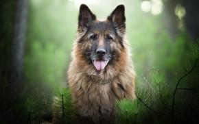 Обои Немецкая овчарка, морда, ветки, боке, портрет, взгляд, собака