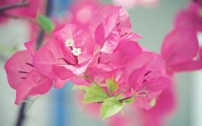 Картинка макро, лепестки, соцветие, бугенвиллея