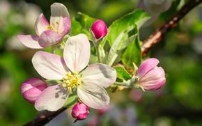Картинка природа, весна, Яблоня, цветение