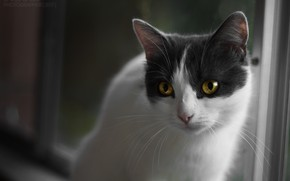 Картинка кошка, взгляд, котэ, желтые глаза, кошечка, бело-серая, беспородная кошка, бело-серая кошка