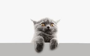 Обои кот, лапы, глаза, безумный, взгляд