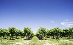 Картинка природа, виноградник, кусты, голубое небо