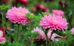 Картинка лето, цветы, природа, красота, август, астра, цветение, дача