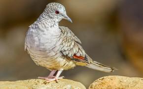 Картинка инкская горлица, клюв, хвост, птица