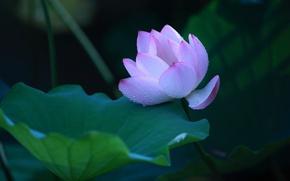 Картинка цветок, листья, капли, цветы, темный фон, лепестки, бутон, лотос