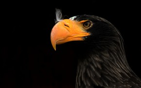 Обои клюв, ястреб, eagle
